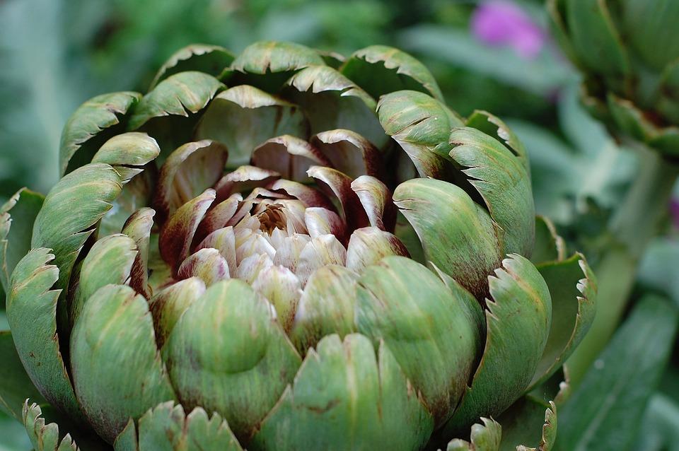 Plantar alcachofas