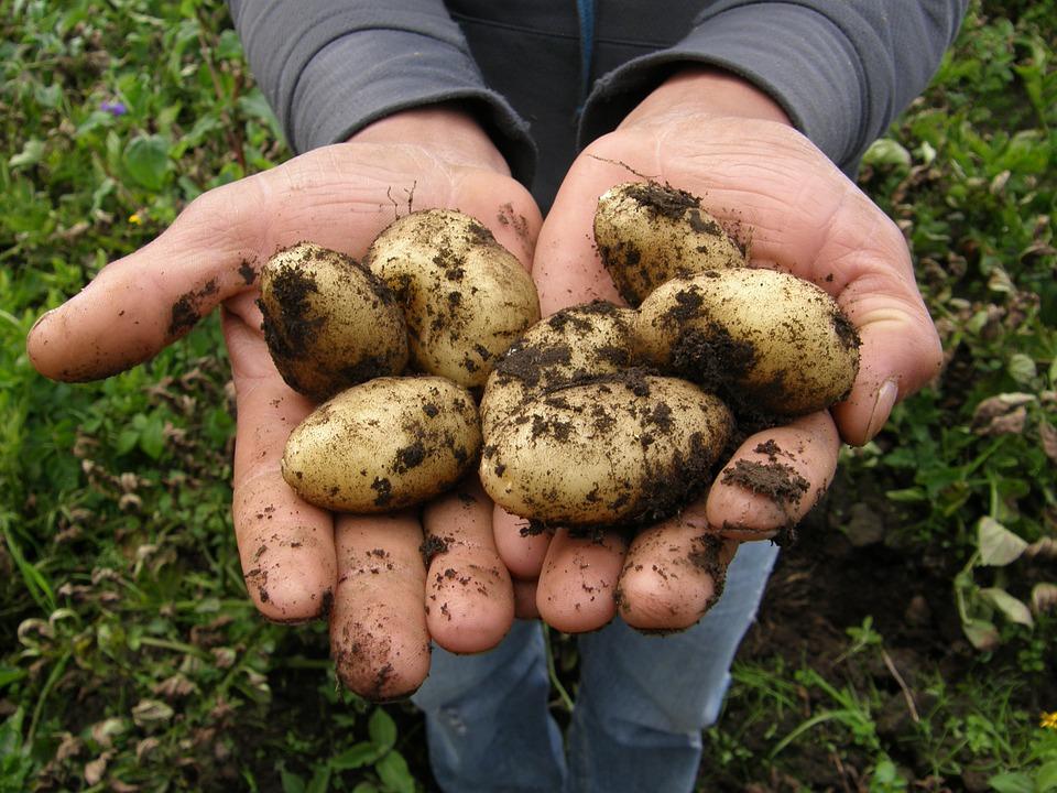 Aqu te decimos c mo plantar patatas toma nota for Como cultivar patatas
