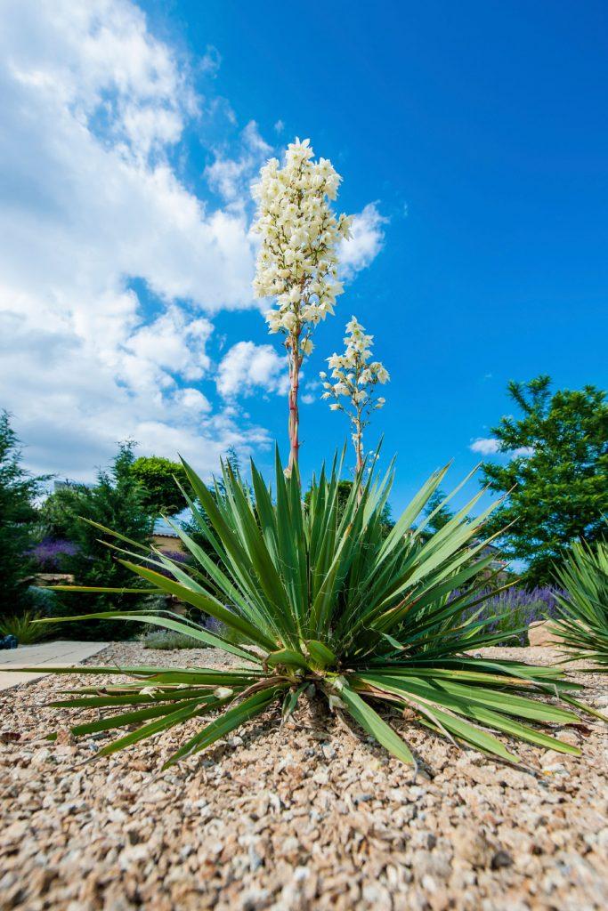 Plantas de exterior lista con 12 variedades con fotos y for Planta yuca exterior