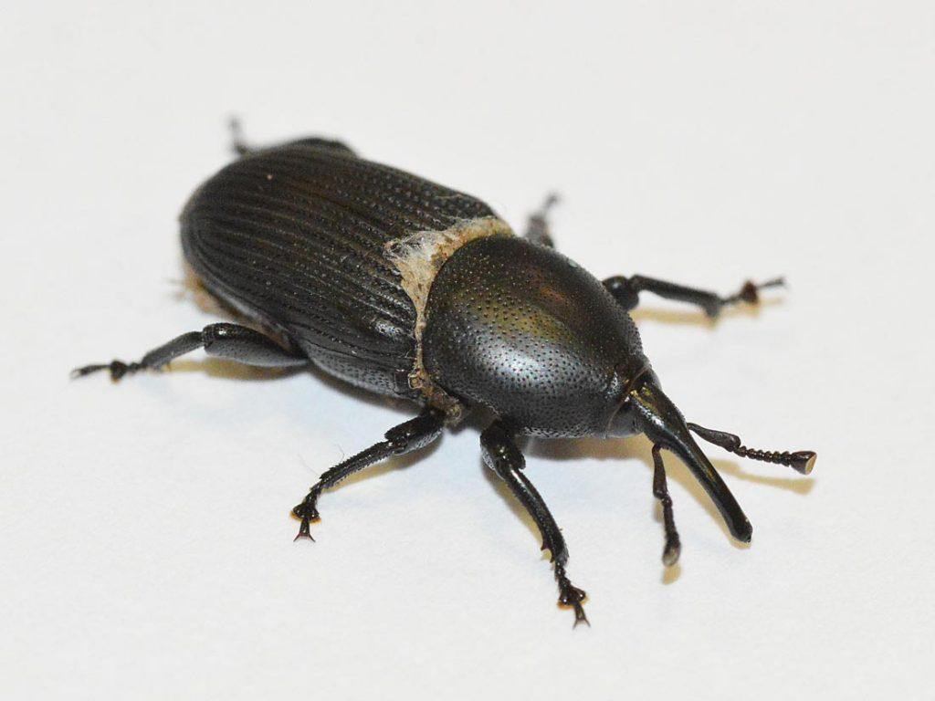 Escarabajo Picudo Qué Es Y Cómo Combatirlo En Palmeras Y Olivos Jardinedia