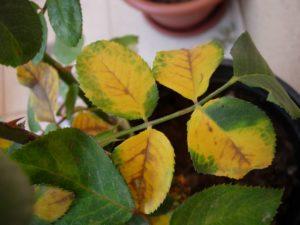 quelato de hierro - clorosis en hoja